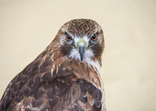Red Tailed Buzzard Stock Images
