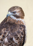 Red Tailed Buzzard Royalty Free Stock Photography