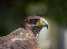 Red Tailed Buzzard Royalty Free Stock Photo