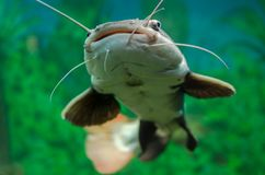 Red-tailed catfish in the aquarium. At the exhibition Royalty Free Stock Images