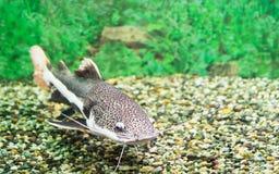 Red-tailed catfish in a transparent aquarium aquarium. Aquarium. On the market Royalty Free Stock Photography
