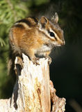 Red-tailed Chipmunk Royalty Free Stock Image