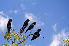 Red tailed Cockatoo birds siting on branch Stock Photography