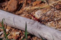 Red dragonfly is on a stick that is placed on an orange ground royalty free stock photography