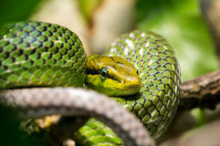 Red tailed Green Rat snake Stock Image