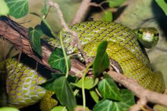 Red Tailed Green Ratsnake Stock Photography