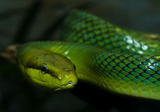 Red-tailed Green Ratsnake Royalty Free Stock Photos