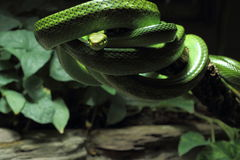 Red-tailed green ratsnake on branch Stock Photos