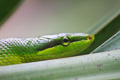 Red Tailed Green Ratsnake Royalty Free Stock Photos