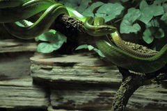 Red-tailed green ratsnake Royalty Free Stock Images