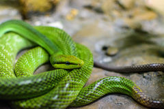 Red-tailed Green Ratsnake Stock Images