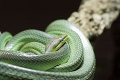Red-Tailed Green Ratsnake Stock Photo