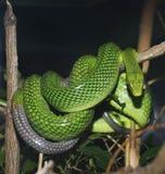 Red Tailed Green Ratsnake Royalty Free Stock Photo