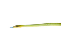 Red-tailed Green Ratsnake on the white background Royalty Free Stock Photos