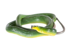 Red-tailed Green Ratsnake on the white background Stock Photos
