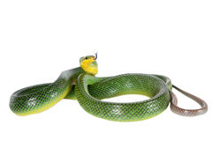 Red-tailed Green Ratsnake on the white background Stock Image