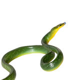 Red-tailed Green Ratsnake on the white background Royalty Free Stock Images