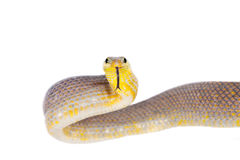 Red-tailed Green Ratsnake on the white background Royalty Free Stock Photo
