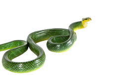 Red-tailed Green Ratsnake on the white background Stock Photo