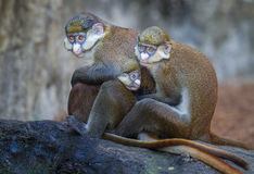 Red tailed Guenon monkey family stock image