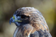 Red-tailed Hawk. Close-up portrait on a Red-tailed Hawk on a sunny day Royalty Free Stock Images