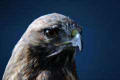 Red-tailed Hawk. Close-up portrait on a Red-tailed Hawk on a sunny day Stock Photos