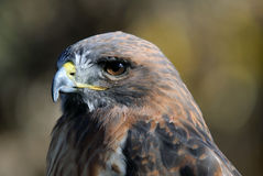 Red-tailed Hawk. Close-up portrait on a Red-tailed Hawk on a sunny day Stock Images