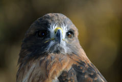 Red-tailed Hawk. Close-up portrait on a Red-tailed Hawk on a sunny day Stock Photo