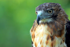 Red-Tailed Hawk. Majestic red tailed hawk perched and watching.  His glaring yellow eyes focused Royalty Free Stock Image