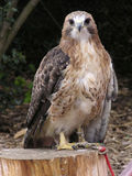 Red-tailed hawk. Perched on a log Royalty Free Stock Photography
