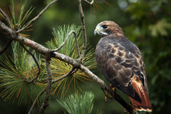 Red-Tailed Hawk. Closeup of a Red-Tailed Hawk perching in a pine tree Stock Images