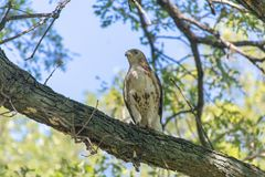 Red-Tailed Hawk looking out in Canada stock photos