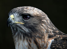 Red tailed hawk. Close-up portrait of red tailed hawk Royalty Free Stock Image