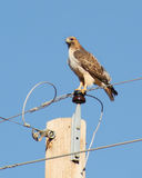 A Red-Tailed Hawk. Perched on a High Electric Wire Stock Photos