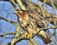 Red Tailed Hawk. A  Red Tailed Hawk perched on a branch on a sunny day Royalty Free Stock Photography