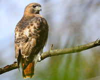 Red-Tailed Hawk. Resting on Tree Branch Royalty Free Stock Photography