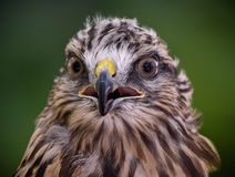 Red tailed hawk. Close-up portrait of red tailed hawk Royalty Free Stock Photography