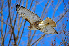 Red-Tailed Hawk. In Flight Agaist A Blue Sky Stock Photography