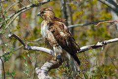 Red-Tailed Hawk Royalty Free Stock Photography