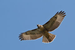Red-tailed Hawk. In flight Royalty Free Stock Photos