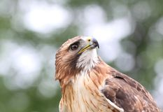 Red tailed hawk. In nature during summer Stock Image