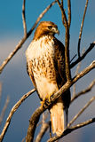 Red Tailed Hawk. Close Up of Red Tailed Hawk Perched on Barren Tree Limb with Blue Sky as Background Royalty Free Stock Image