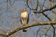Red-tailed Hawk. A juvenile red-tailed hawk perched in a sycamore tree in a park in New York City Stock Photos