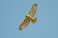 Red-Tailed Hawk. Flying against a blue sky Stock Image