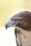 A Red-Tailed Hawk Royalty Free Stock Photos