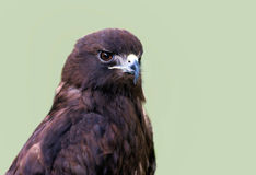 Red Tailed Hawk. A close up headshot of a red tailed hawk Stock Photography