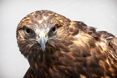 Red-tailed Hawk. Portrait of red-tailed hawk with white studio background Royalty Free Stock Photos