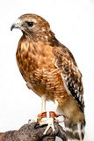 Red-tailed Hawk. Side view of red-tailed hawk on wooden branch, white background Stock Photos