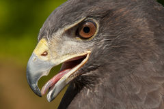 Red-Tailed Hawk Royalty Free Stock Image