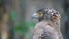 A Red tailed Hawk stock video